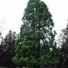 15 arbori din Cluj, propuși ca Monumente ale naturii